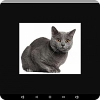 Chartreux Cat for adoption in New Haven, Connecticut - Riley