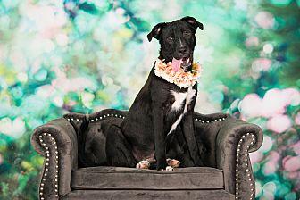 Labrador Retriever Mix Dog for adoption in Seattle, Washington - Aggie
