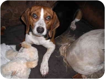 Beagle/Foxhound Mix Dog for adoption in STATEN ISLAND, New York - Emily