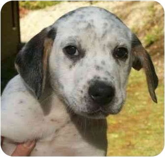 Bluetick Coonhound/Hound (Unknown Type) Mix Puppy for adoption in Spruce Pine, North Carolina - Roscoe