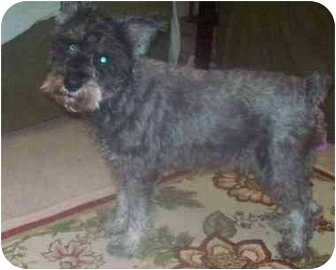 Schnauzer (Miniature) Mix Dog for adoption in Albany, New York - Jay R
