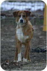 Border Collie/Carolina Dog Mix Dog for adoption in New Boston, New Hampshire - Buddy