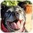 Photo 1 - Labrador Retriever/American Staffordshire Terrier Mix Dog for adoption in Marina del Rey, California - Wilbur