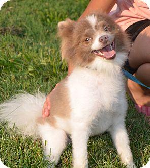Pomeranian Mix Puppy for adoption in Allentown, Pennsylvania - Sport