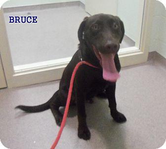 Labrador Retriever Mix Dog for adoption in Slidell, Louisiana - Bruce