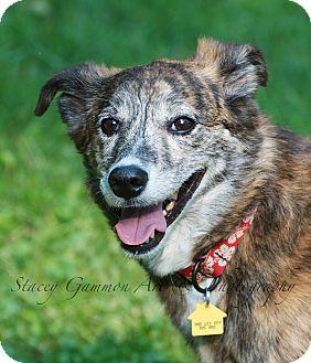 German Shepherd Dog/Whippet Mix Dog for adoption in Park Ridge, New Jersey - Bella