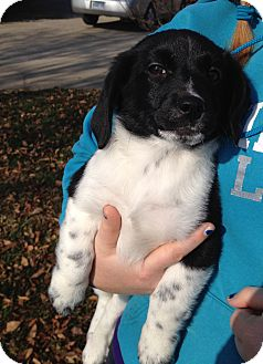 Border Collie/Corgi Mix Puppy for adoption in LaGrange, Kentucky - DRAMA