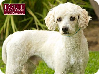 Poodle (Miniature) Dog for adoption in Marina del Rey, California - Snow