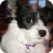 Schnauzer (Miniature) Mix Dog for adoption in Austin, Texas - Petunia