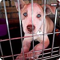 Adopt A Pet :: Bijou - North Hollywood, CA