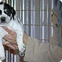 Adopt A Pet :: Farah - Spring City, PA