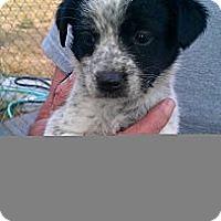 Adopt A Pet :: Scotch - Conway, AR
