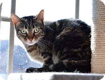 Domestic Shorthair Cat for adoption in Hamilton, New Jersey - Jewel