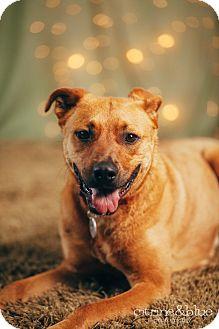 German Shepherd Dog/Labrador Retriever Mix Dog for adoption in Portland, Oregon - Patches