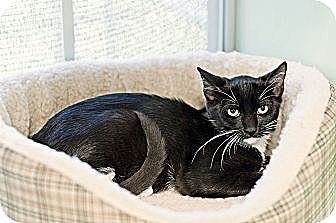 Domestic Shorthair Cat for adoption in Carencro, Louisiana - Fay