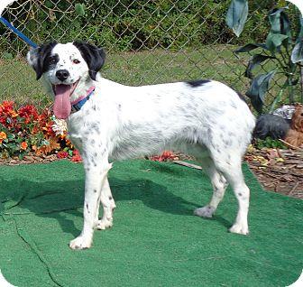 English Setter/Border Collie Mix Dog for adoption in Marietta, Georgia - LYRIC