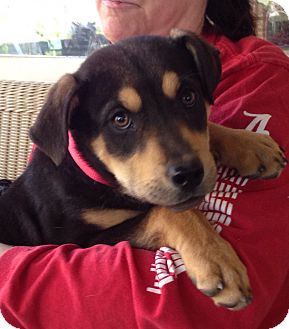 Labrador Retriever/Rottweiler Mix Puppy for adoption in Nanuet, New York - Abby