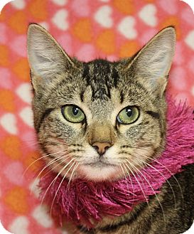Domestic Shorthair Cat for adoption in Jackson, Michigan - Bonnie