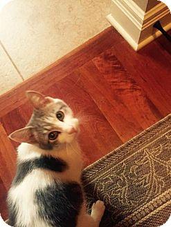 Domestic Mediumhair Cat for adoption in Hillsboro, Missouri - Cotton