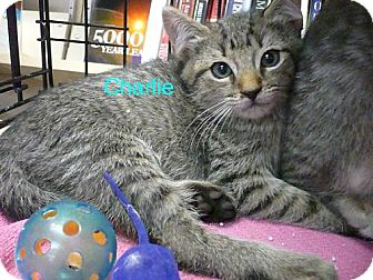 Domestic Mediumhair Kitten for adoption in Tehachapi, California - Charlie