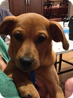 Corgi/Hound (Unknown Type) Mix Puppy for adoption in Naperville, Illinois - Mabel
