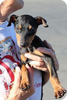 Doberman Pinscher/German Pinscher Mix Puppy for adoption in Fillmore, California - Kachina
