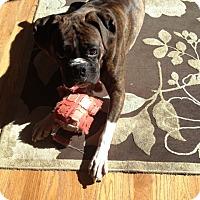 Adopt A Pet :: Brodie Baloo - Dayton, OH