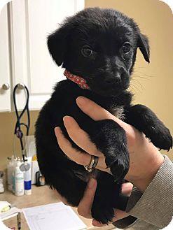 German Shepherd Dog/Labrador Retriever Mix Puppy for adoption in Zanesville, Ohio - Red w Paw Print