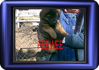 Australian Cattle Dog/Labrador Retriever Mix Puppy for adoption in Cushing, Oklahoma - x PEEWEE adopted