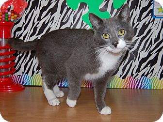 Domestic Shorthair Cat for adoption in North Judson, Indiana - Leprechaun