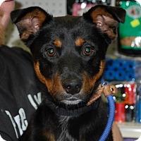Adopt A Pet :: Bailey - Brooklyn, NY
