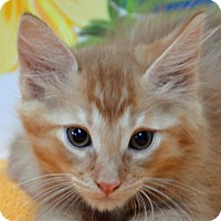 Adopt A Pet :: Shere Kahn - Englewood, FL