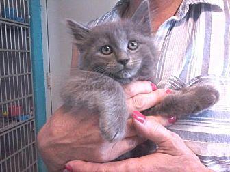"Domestic Mediumhair Kitten for adoption in Arlington, Virginia - Baby ""Blue"""