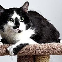 Adopt A Pet :: Mittens - Reno, NV