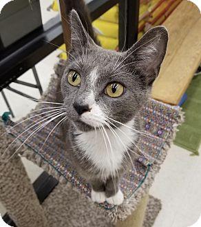Domestic Shorthair Cat for adoption in Warren, Ohio - Fiona