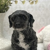 Poodle (Miniature)/Shih Tzu Mix Dog for adoption in Bakersfield, California - Lilah