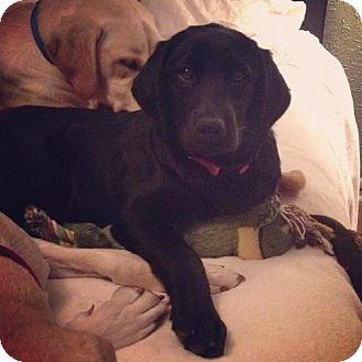 Labrador Retriever Puppy for adoption in Denton, Texas - Dolly