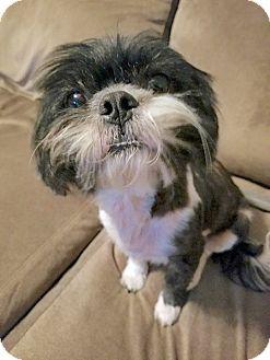 Shih Tzu Mix Dog for adoption in Lakewood, Colorado - Gypsy
