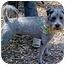 Photo 3 - Schnauzer (Miniature)/Terrier (Unknown Type, Small) Mix Dog for adoption in Spring Valley, California - Oreo