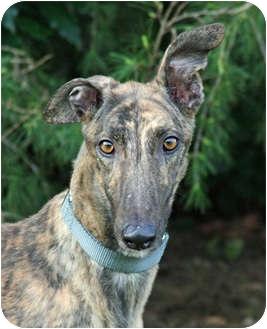 Greyhound Dog for adoption in Portland, Oregon - Buster