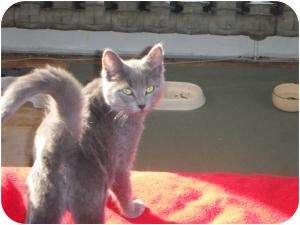 Domestic Shorthair Kitten for adoption in Montreal, Quebec - Sky