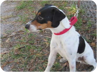 Jack Russell Terrier Mix Dog for adoption in Bradenton, Florida - Frankie