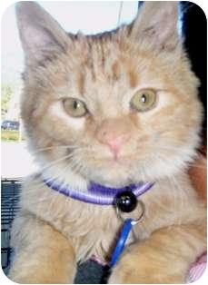 Domestic Shorthair Kitten for adoption in Pasadena, California - Tigger