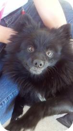 Pomeranian Mix Dog for adoption in Columbus, Georgia - Jackson 8375