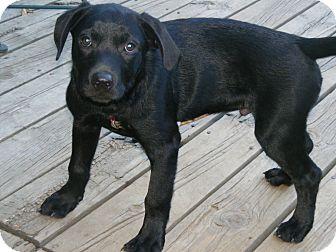 Labrador Retriever/Retriever (Unknown Type) Mix Puppy for adoption in Toledo, Ohio - ROLLY 4mos