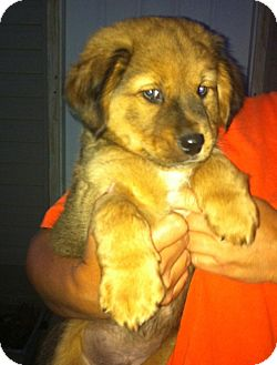 Shepherd (Unknown Type) Mix Puppy for adoption in Brazil, Indiana - Salem