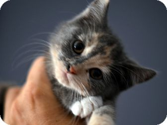 American Shorthair Kitten for adoption in Brooklyn, New York - Samara