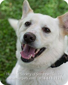 Husky/Terrier (Unknown Type, Medium) Mix Dog for adoption in Somerset, Pennsylvania - Buddy II