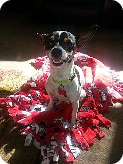Rat Terrier Dog for adoption in Oak Creek, Wisconsin - Alvin