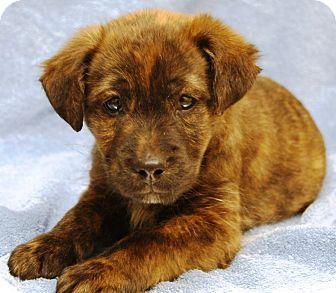 Australian Shepherd Mix Puppy for adoption in Plainfield, Connecticut - Mani